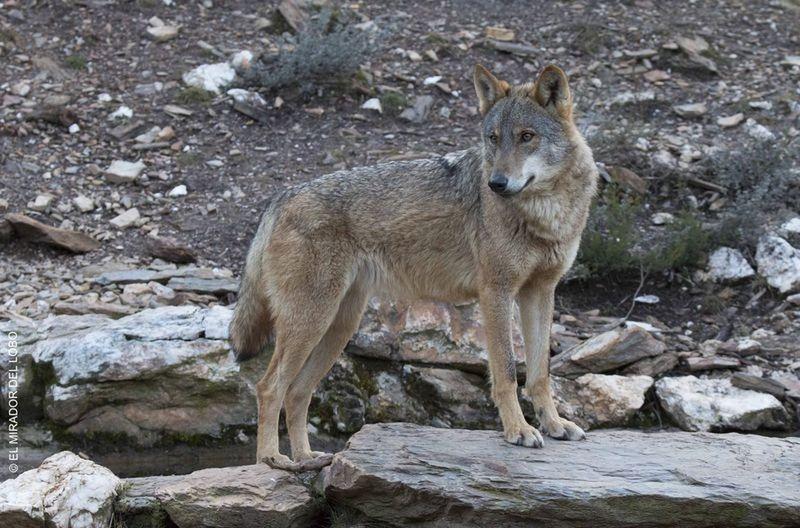 El lobo es el rey de los animales salvajes en Zamora