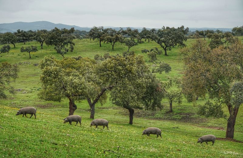 Cerdos 100% ibéricos en la Finca La porquera